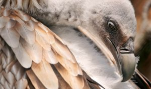 Vultures on the edge of extinction