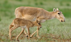 Saving Critically Endangered Saiga