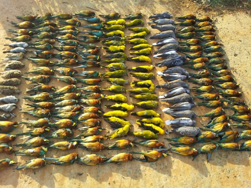 Slaughtered migratory birds in Lebanon © Georges Hareb