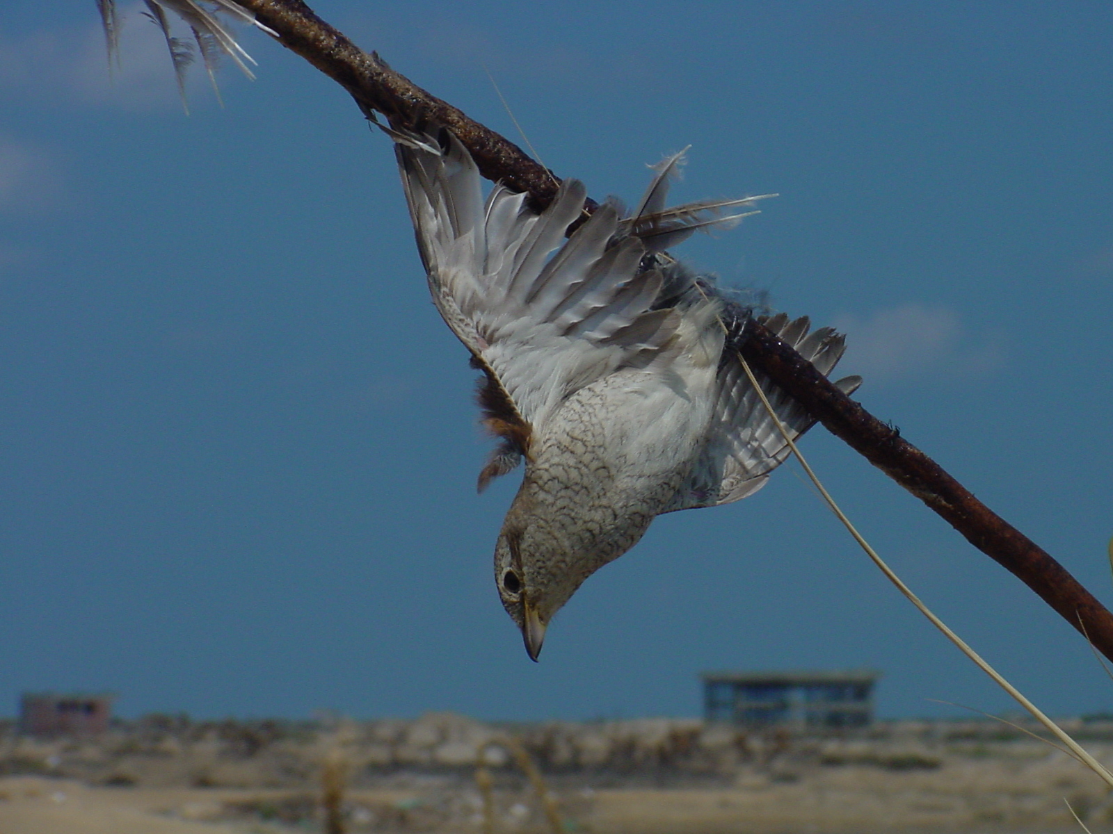 A Red-backed Shrike caught on a lime stick in Egypt. Photo: Mindy El Bashir/Nature Conservation Egypt